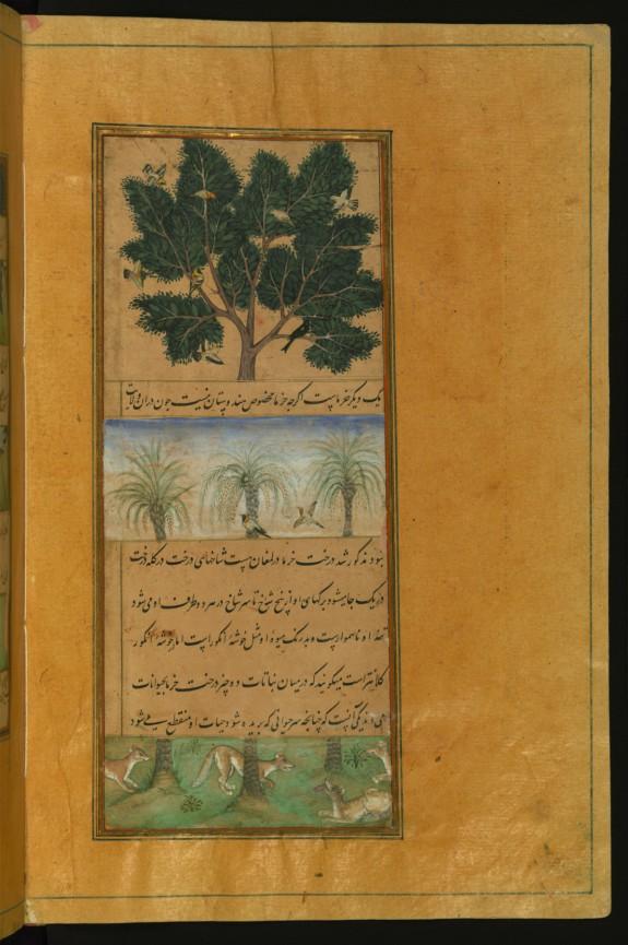 Date Trees of Hindustan