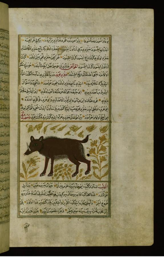 A Pig (Hog)