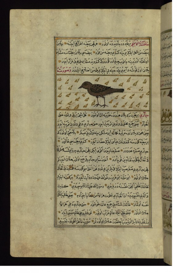 A Bird Called Hadinat al-af'á (Viper's Dry Nurse)