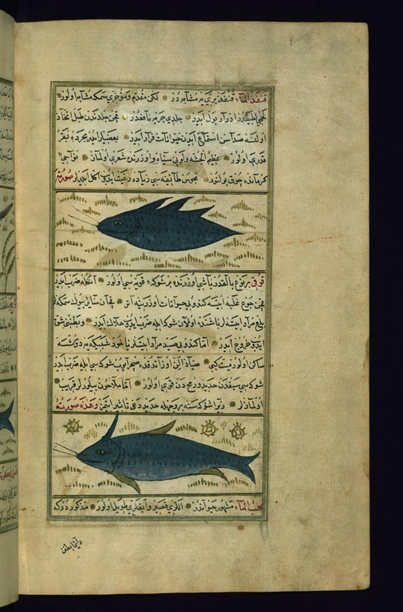 Two Fish Called Qunfadh al-ma' (Water-hedgehog) and Quqi