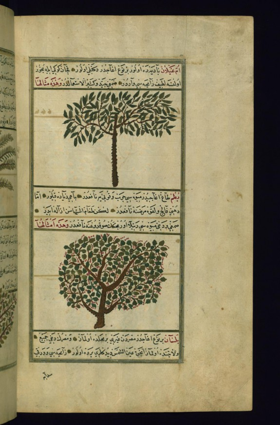 An Acacia Tree and a Turpentine Tree