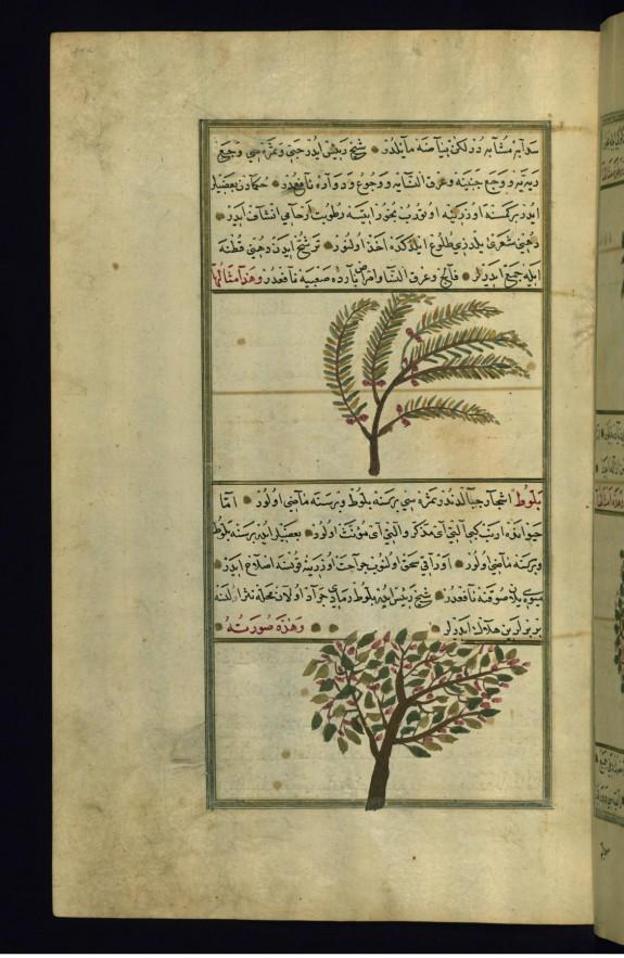 A Balsam Tree and an Oak Tree