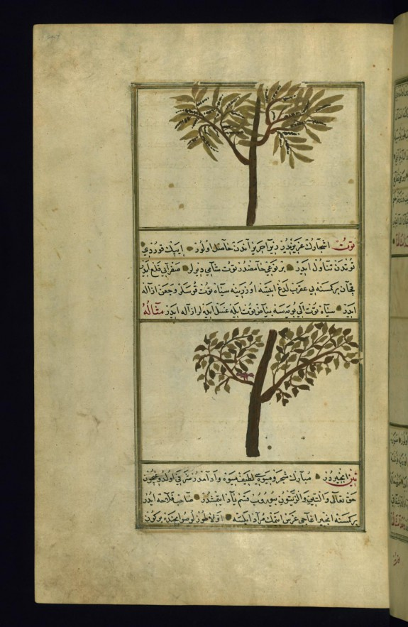 A Tree Called Tanuth and a Mulberry Tree