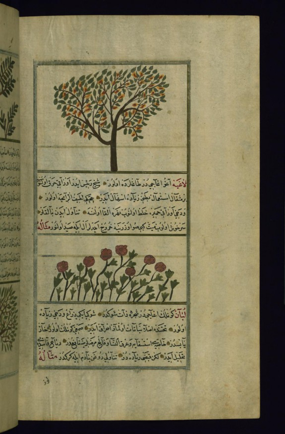 A Pear Tree and Laghiyah Plants