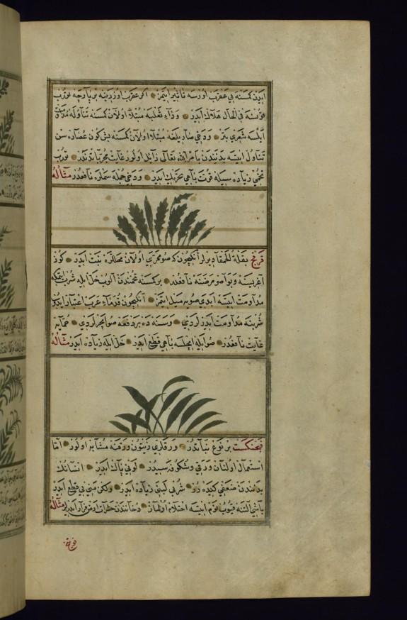 Radish and a Plant Called Qarfaj