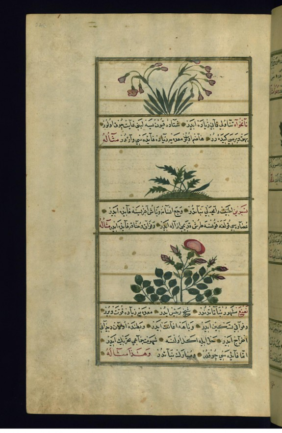 Three Plants: Narcissus (Narjis), Aniseed (Nankhva), and Wild Rose (Nasrin)