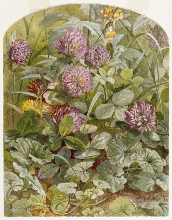 Red Clover with Butter-and-Eggs and Ground Ivy