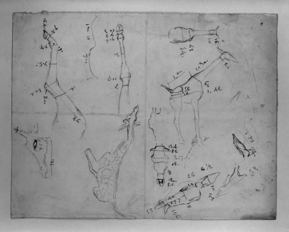 Measured Drawing of Giraffe