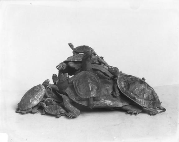 Eleven Turtles