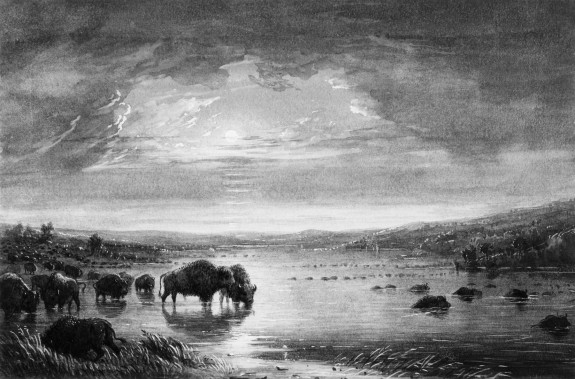 Buffalo Drinking and Bathing at Night