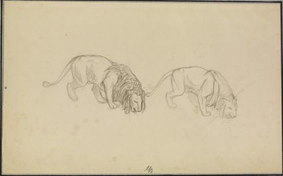 Study of Lions