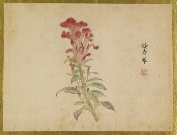 Coxcomb Flower