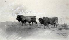 Andalusian Bulls