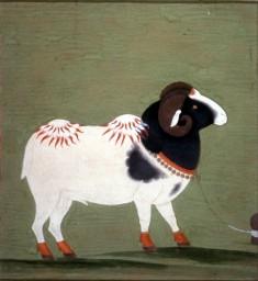 Animal Study: A Ram