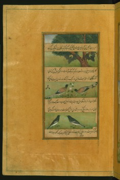 Birds of Hindustan: Bats and Ducks