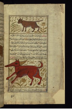 A Wild Cat and an Animal Called Sirayis