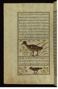 A Turkey and a Bird Called Abu Haruz