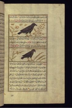 A Hawk and a Sparrow Hawk