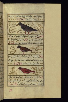 A Bird Called Shafatin, a Green Magpie, and a Singing Bird