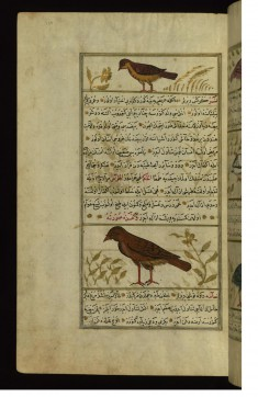A Bird Called Maka and a Vulture