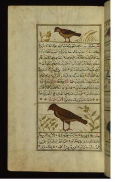 A Bird Called Maka and a Vulture
