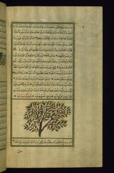 A Myrtle Tree
