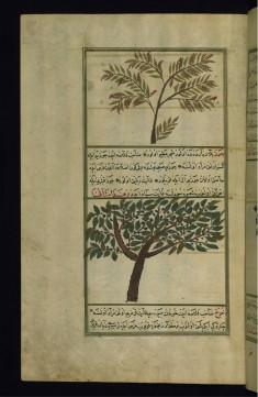 A Wild Fig Tree and a Walnut Tree