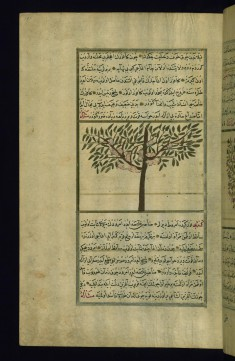 A Camphor Tree