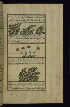 Cotton, a Plant Called Qashsha, Safflower, and Wild Qashsha