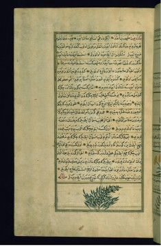 A Persian Plant Called Madharyun