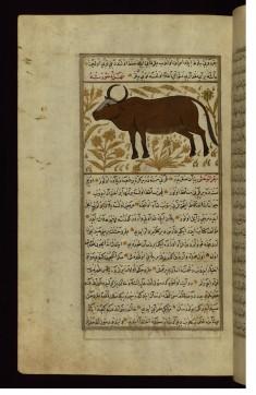 A Cow or a Bull