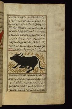 A Buffalo