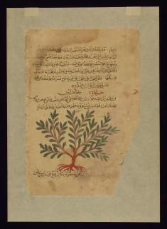 Mezereon (Spurge-olive)