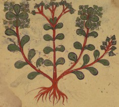 Four Leaves from the Arabic Version of Dioscorides' De materia medica