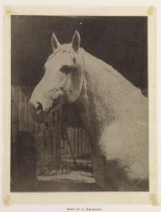 The Percheron Horse